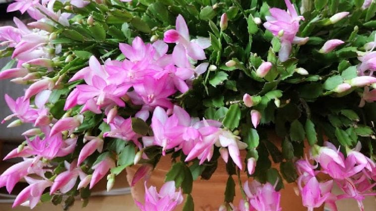 large Thanksgiving cactus in bloom with pink flowers