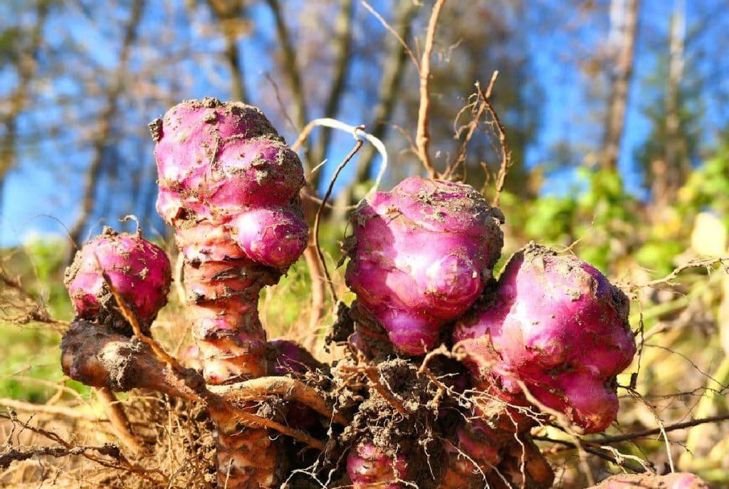 Jerusalem artichoke roots