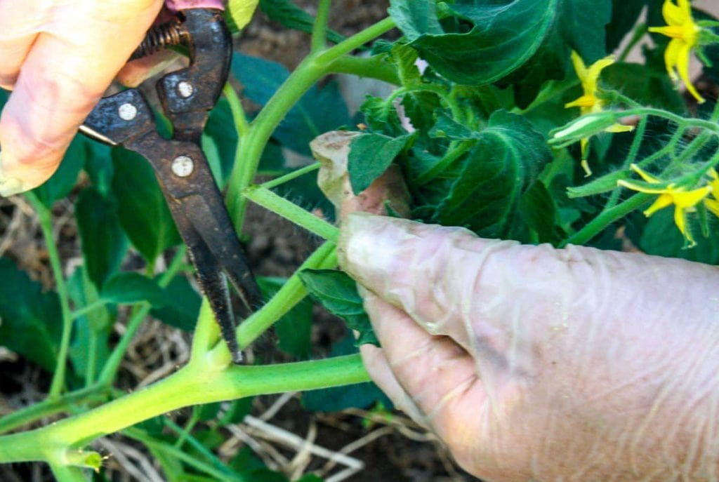 Closeup of a pair of hands with a clipper, pruning a tomato stem