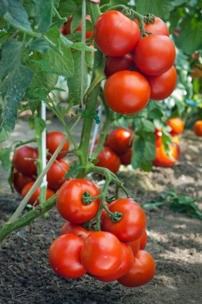 closeup tomato pics