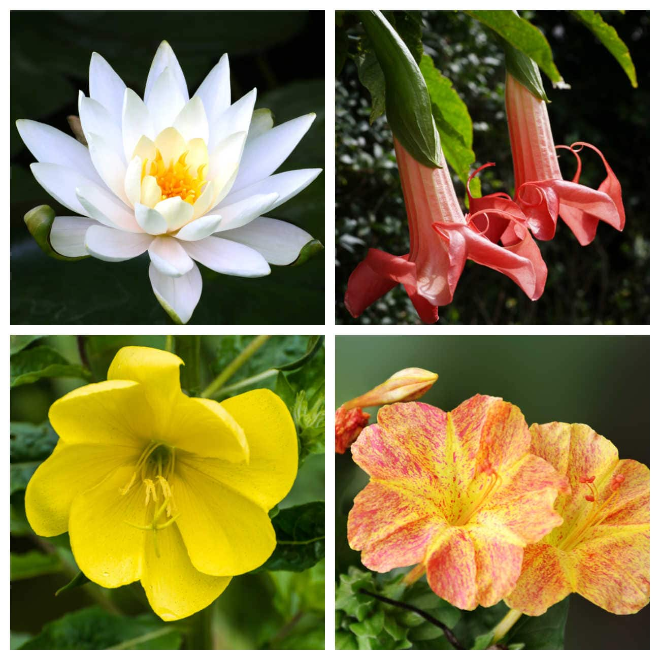 collage of 4 flowers - night blooming water lily, Brugmansia, four o'clocks, evening primrose.,