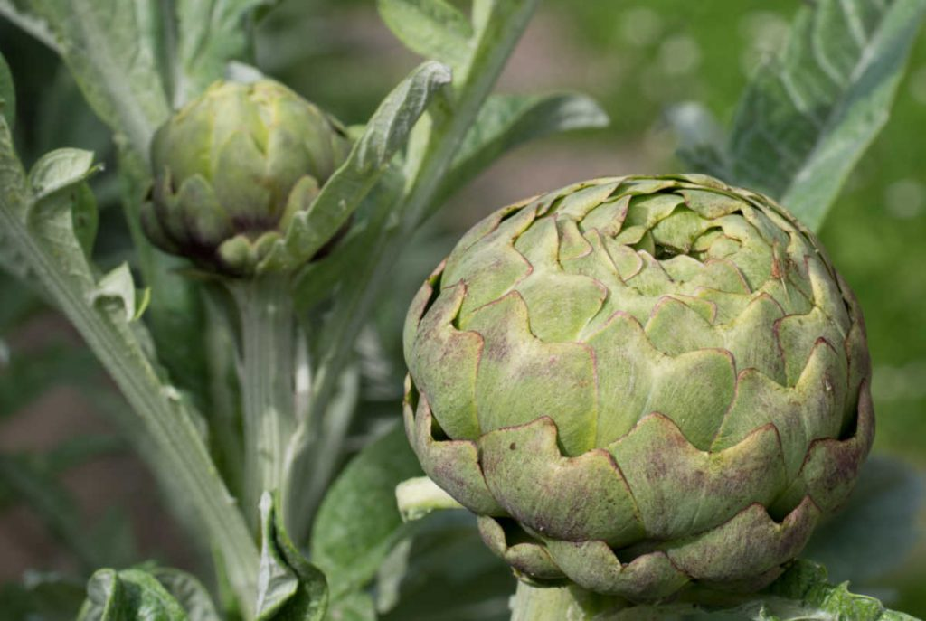 Large artichoke with leaves closed.