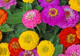 Zinnia flowers in yellow, red, pink, and purple.