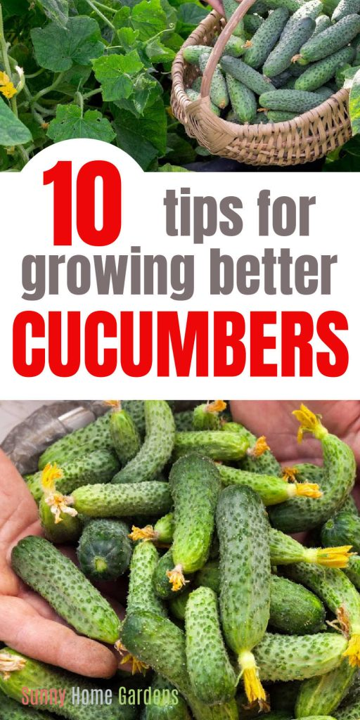 """Top pic has a basket with cucumbers in it, middle says """"10 tips for growing better cucumbers"""" and the bottom pic is several pickling cucumbers being supported by hands."""
