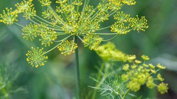 dill flower.