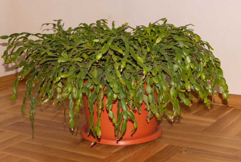 Large Christmas cactus with buds at the end of the leaves, but no blooms.