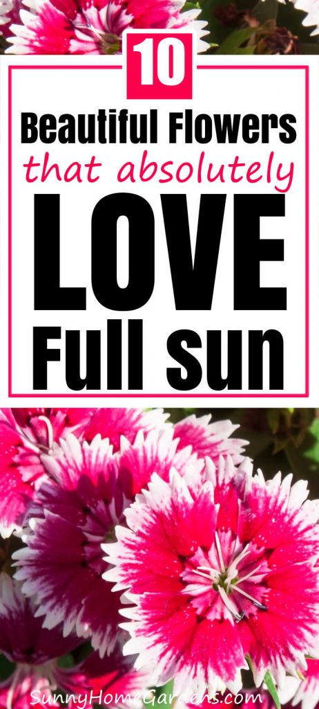 """Pin image: top says """"10 Beautiful Flowers that absolutely LOVE full sun""""  and bottom has a picture of pink dianthus flowers."""