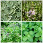 Collage of 4 images - top left is sage, top right is closeup of Pennyroyal flower, bottom right is peppermint leaves, bottom left is catnip in bloom.