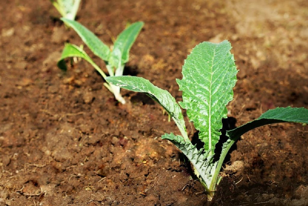 Artichoke seedlings.