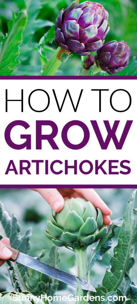 "Pin image - top has a pic of purple artichokes, middle says ""How to Grow Artichokes"", bottom is a pic of an artichoke being harvested."