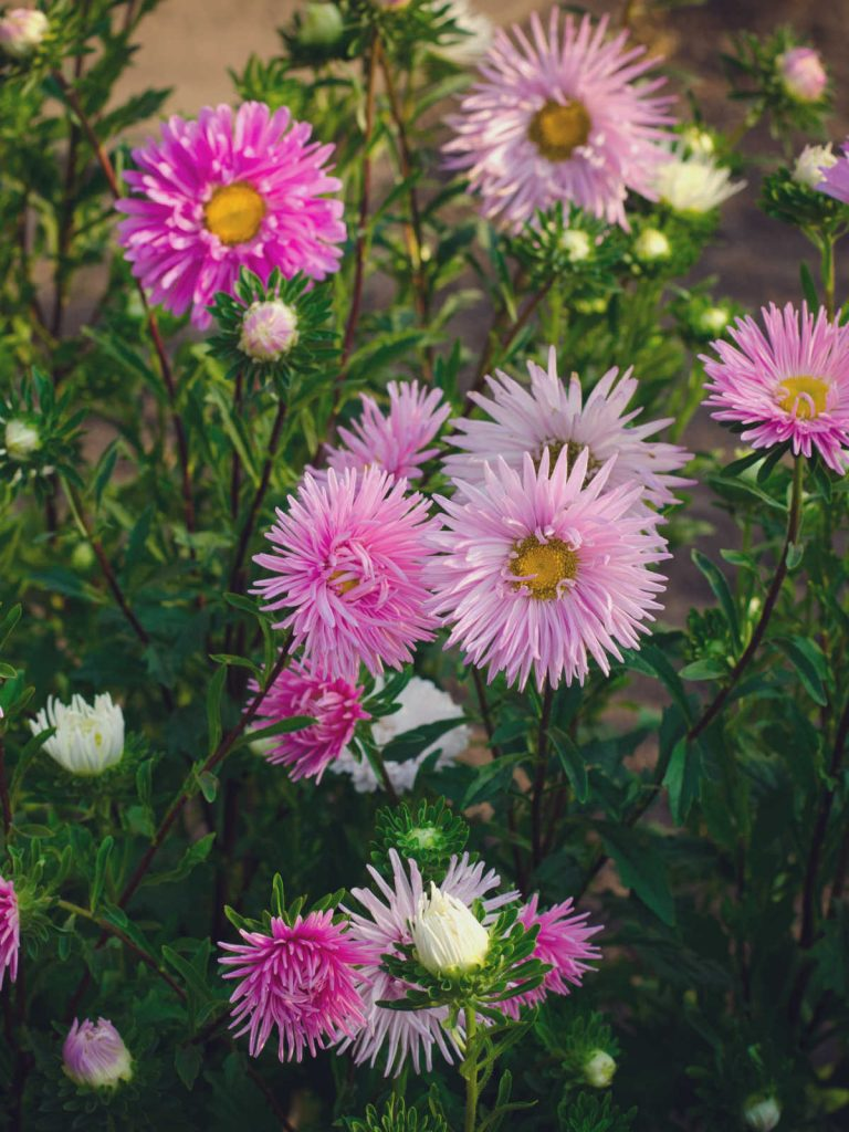 Pink aster flowers.