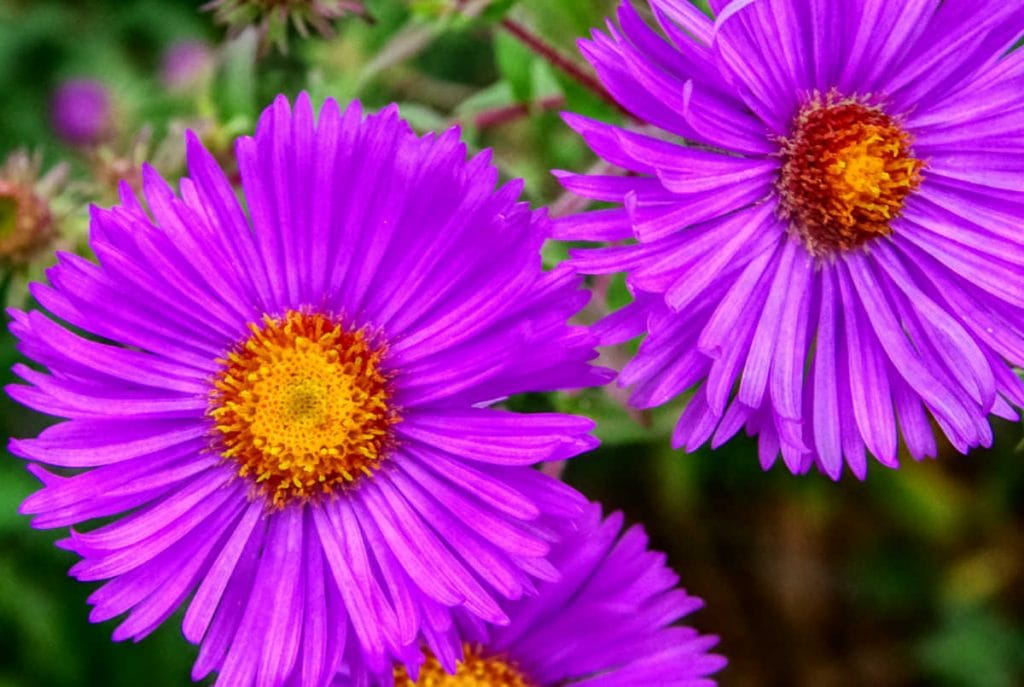 Closeup of a couple purple aster flowers.