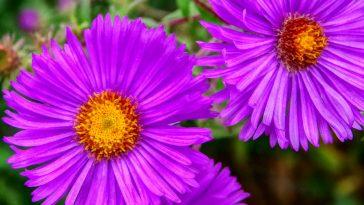 purple aster flowers.