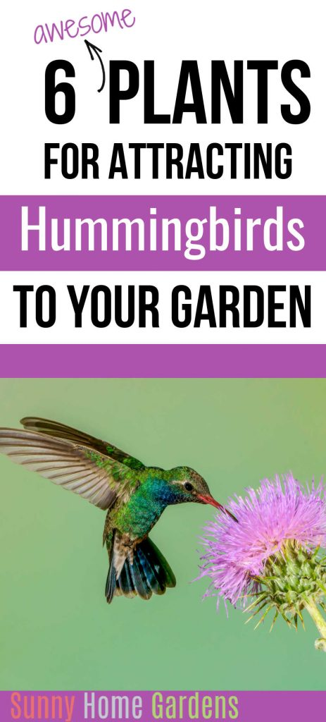 "Top of image says ""6 awesome plants for attracting hummingbirds to your garden"" and bottom of image has a hummingbirds with it's beak in a pinkish purple bee balm flower."