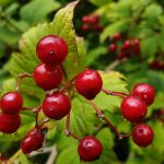 berries on a guelder rose.