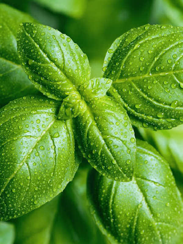 top down view of basil plant with water droplets on the leaves.