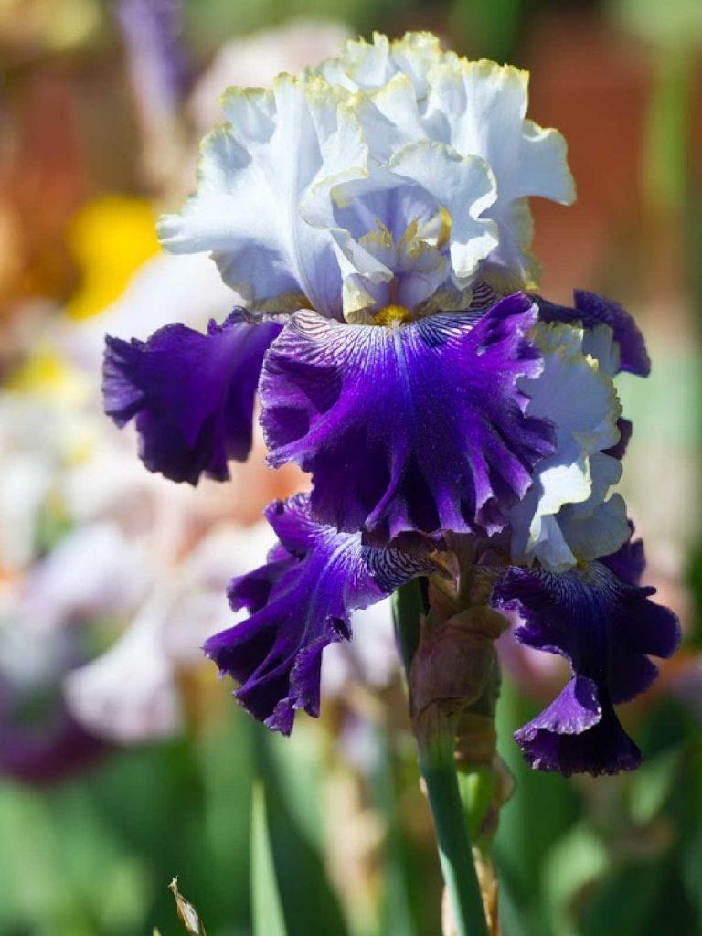 Purple bearded iris in bloom.