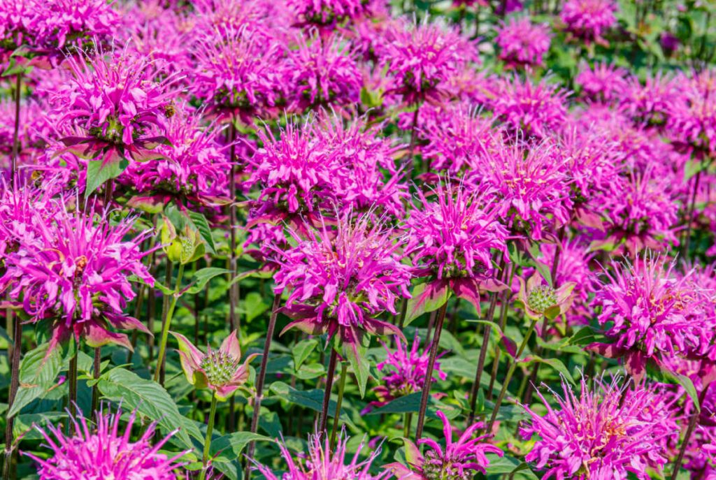 Bright pink bee balm.