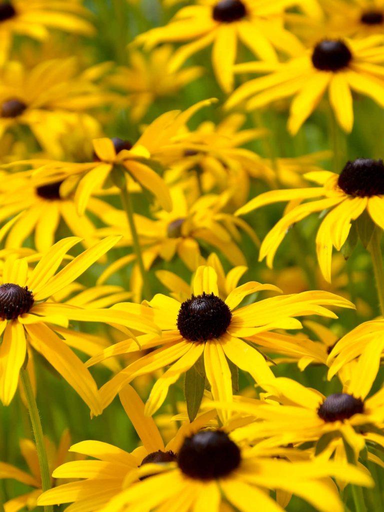 Black eyed Susan flowers in bloom.
