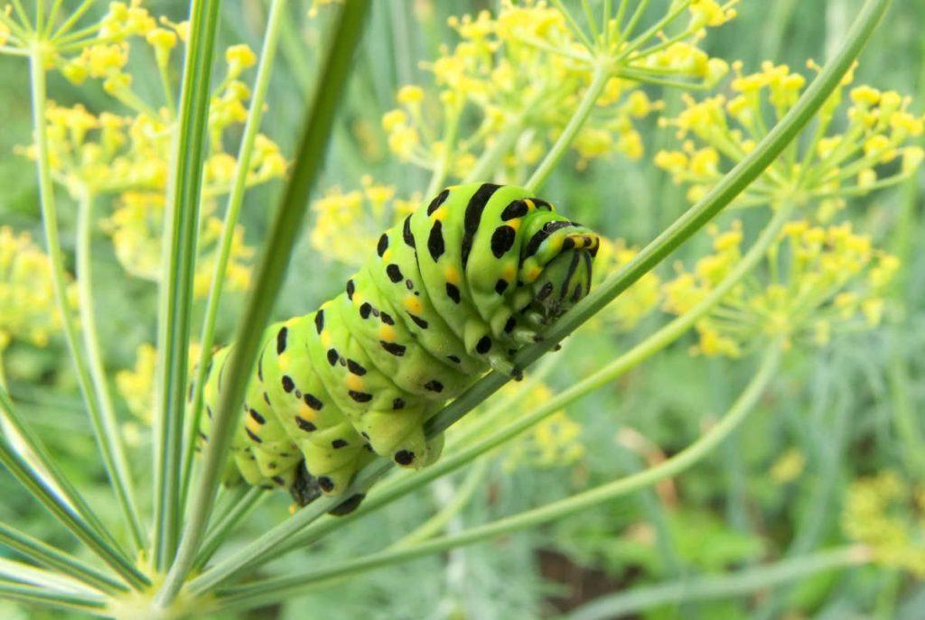 Fat caterpillar climbing on the stem of a dill flower.