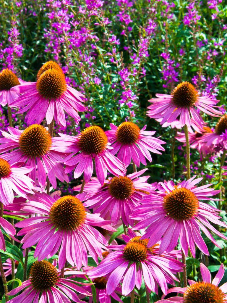 Coneflowers in bloom.