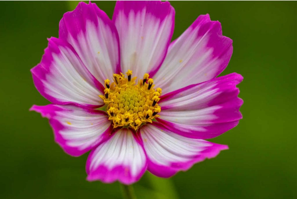 Closeup of a white with pink edge cosmos flower.