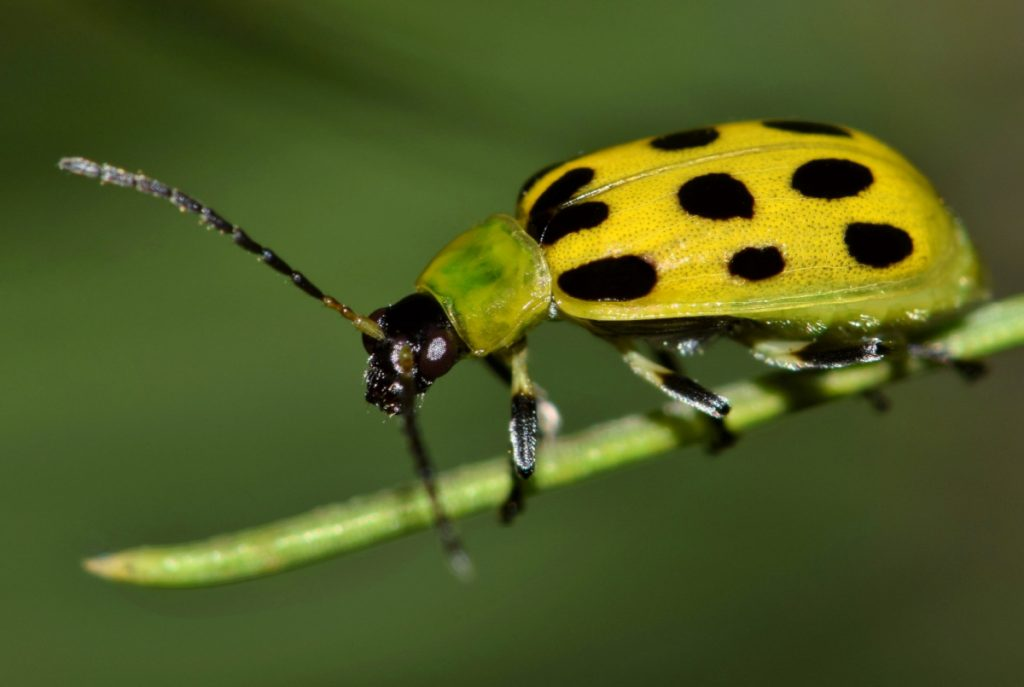 Spotted yellow and black beetle.