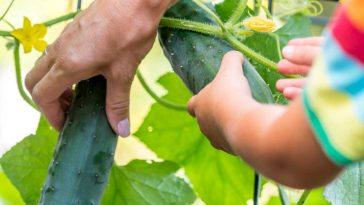 hands grabbing cucumbers off vine.