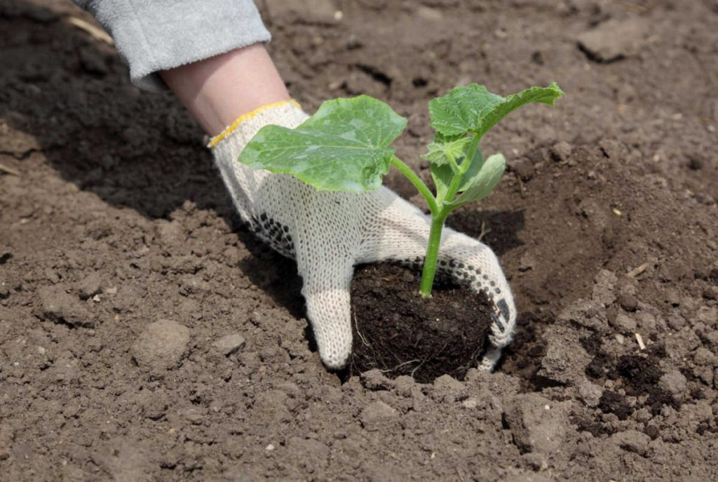 Cucumber seedling being planted in a garden.