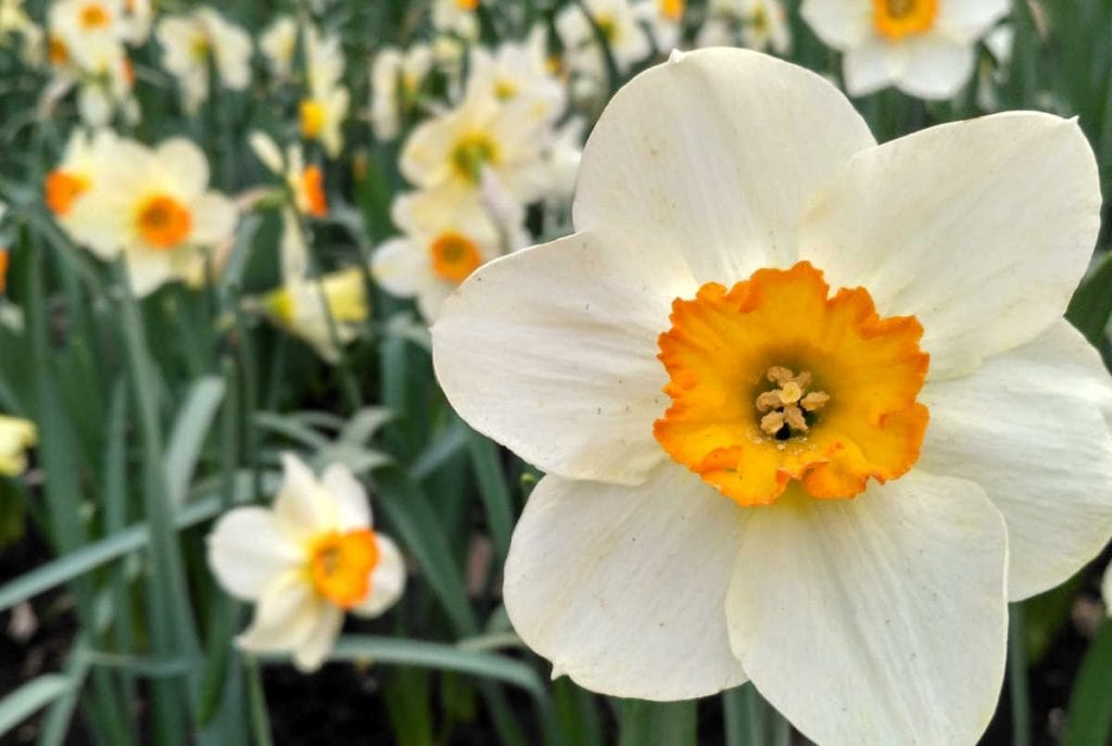 Closeup of a white with orange center daffodil with other daffodil flowers faded in the background.