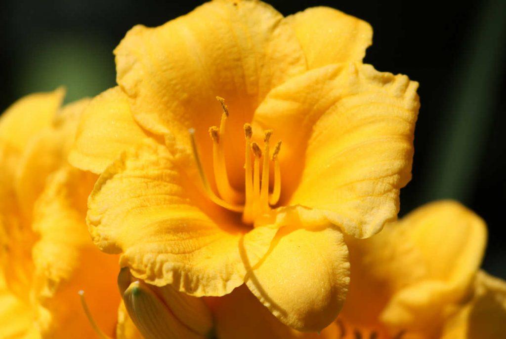 Bright yellow daylily.