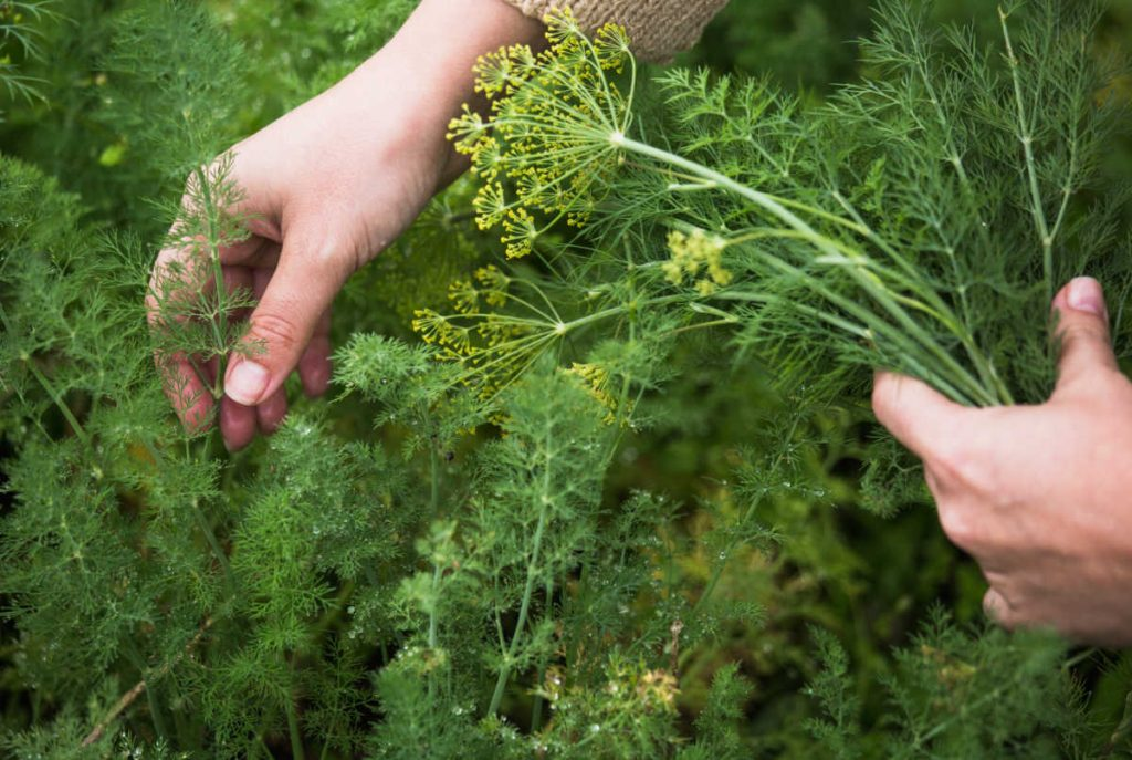 hands picking dill.