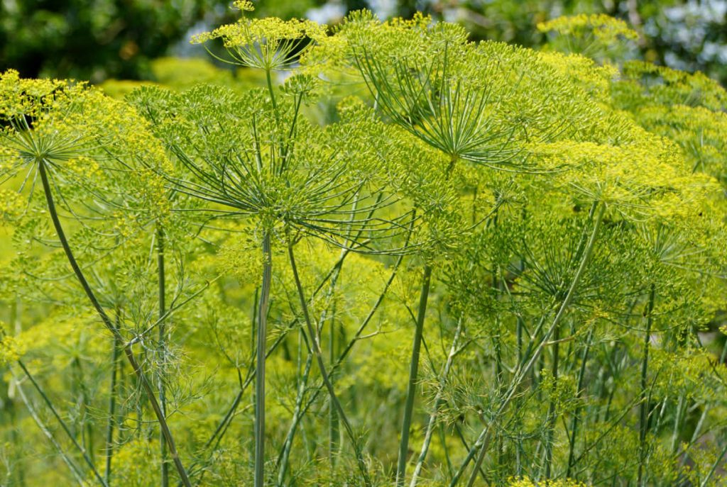 Closeup of dill flowers in the sun.