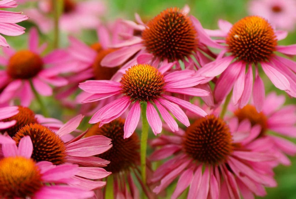 Closeup of echinacea flowers in bloom.