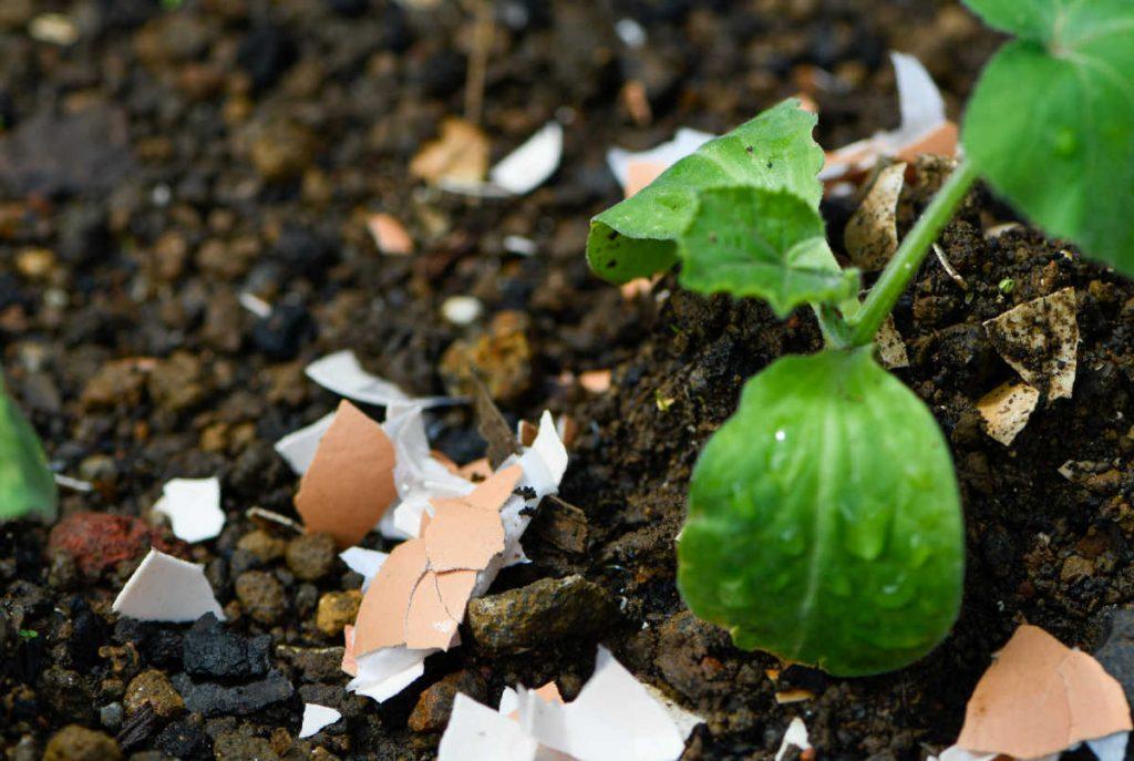Egg shells around a seedling.