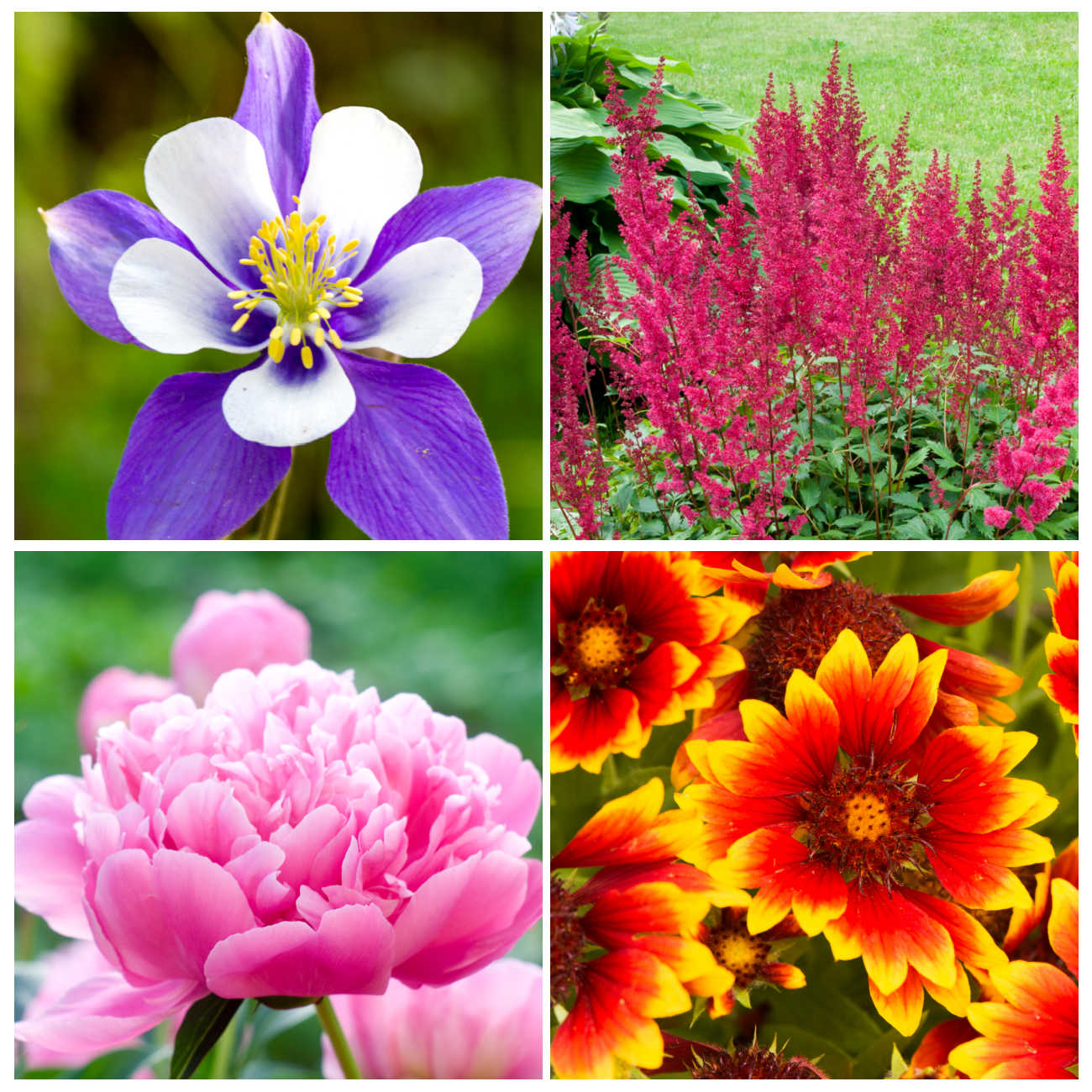 Collage of 4 photos: top left to right and around - purple columbine flower, red astilbe, blanket flower, pink peony flower
