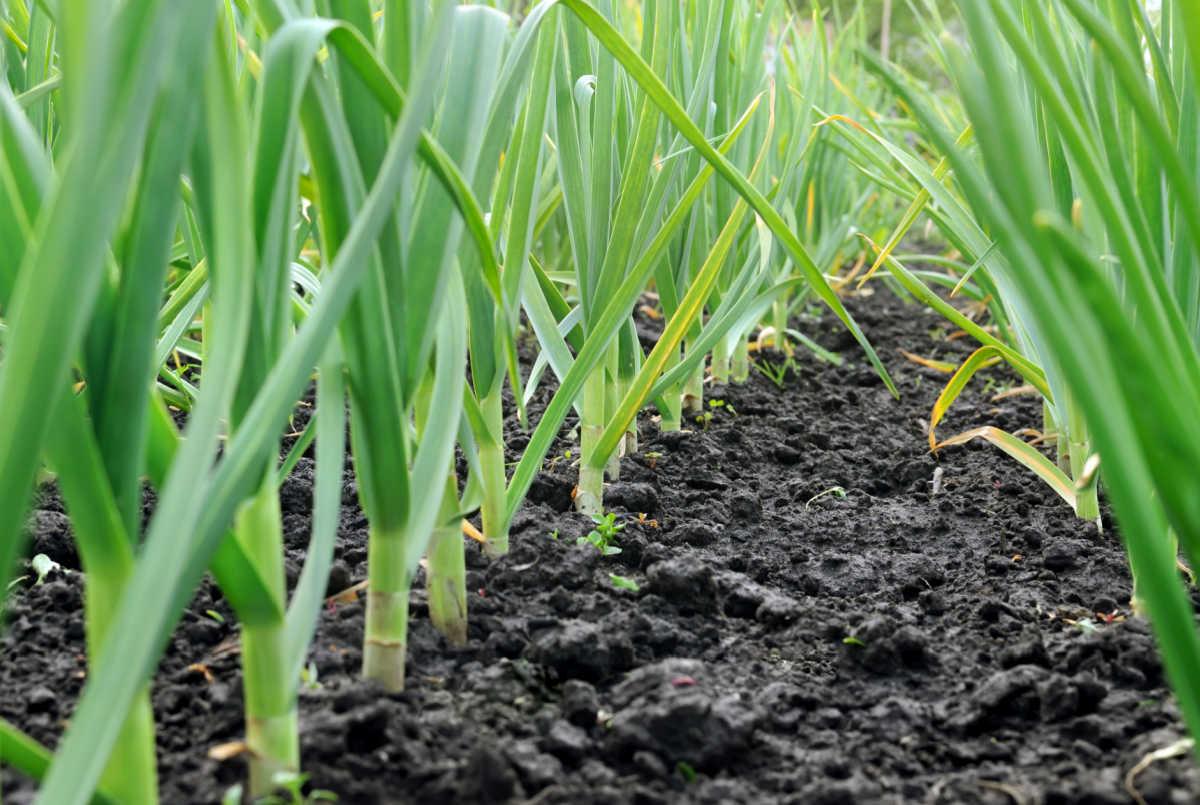 closeup of a row of garlic in the garden.