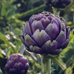 Purple artichokes.
