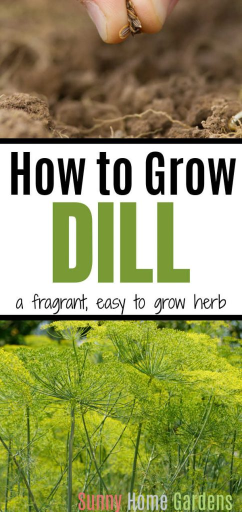 """Pin image - top has closeup pic of seeds being dropped into the ground, middle says """"How to grow dill, a fragrant, easy to grow herb"""" and bottom is a picture of dill plants."""