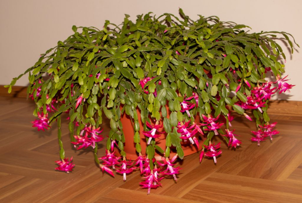 Beautiful, huge Christmas cactus in bloom.
