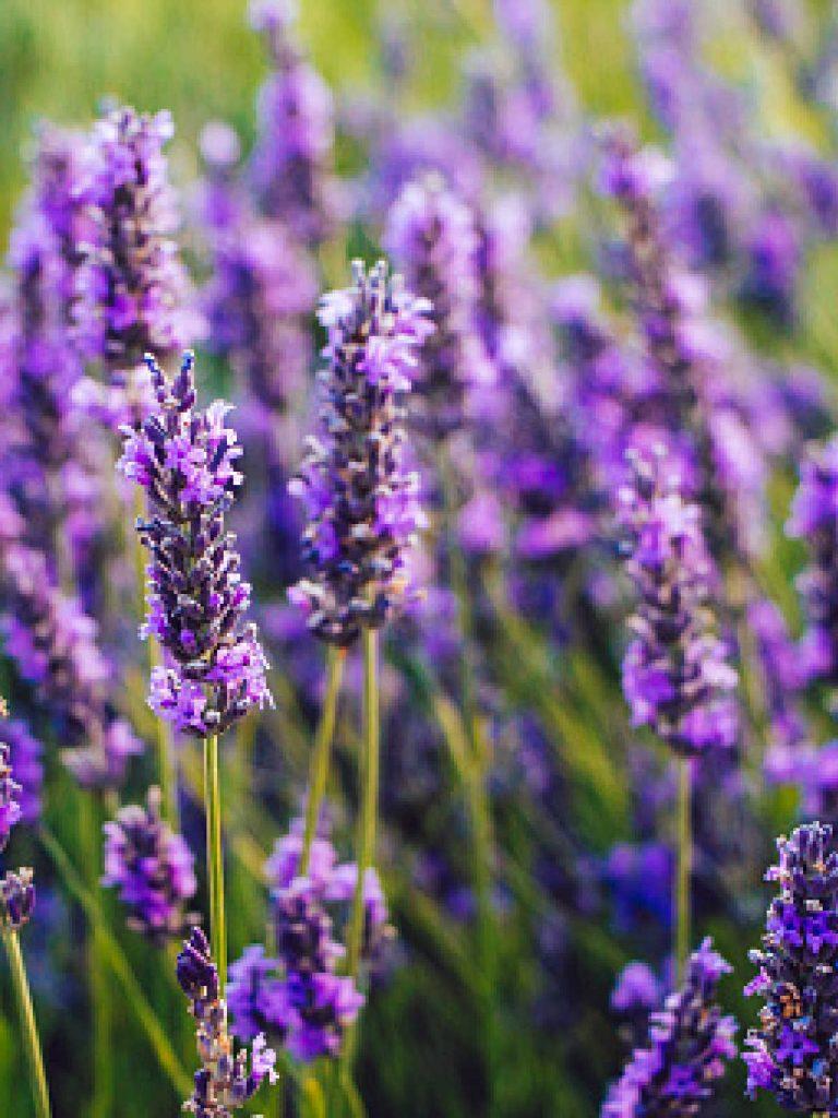 Closeup of purple lavender in bloom.