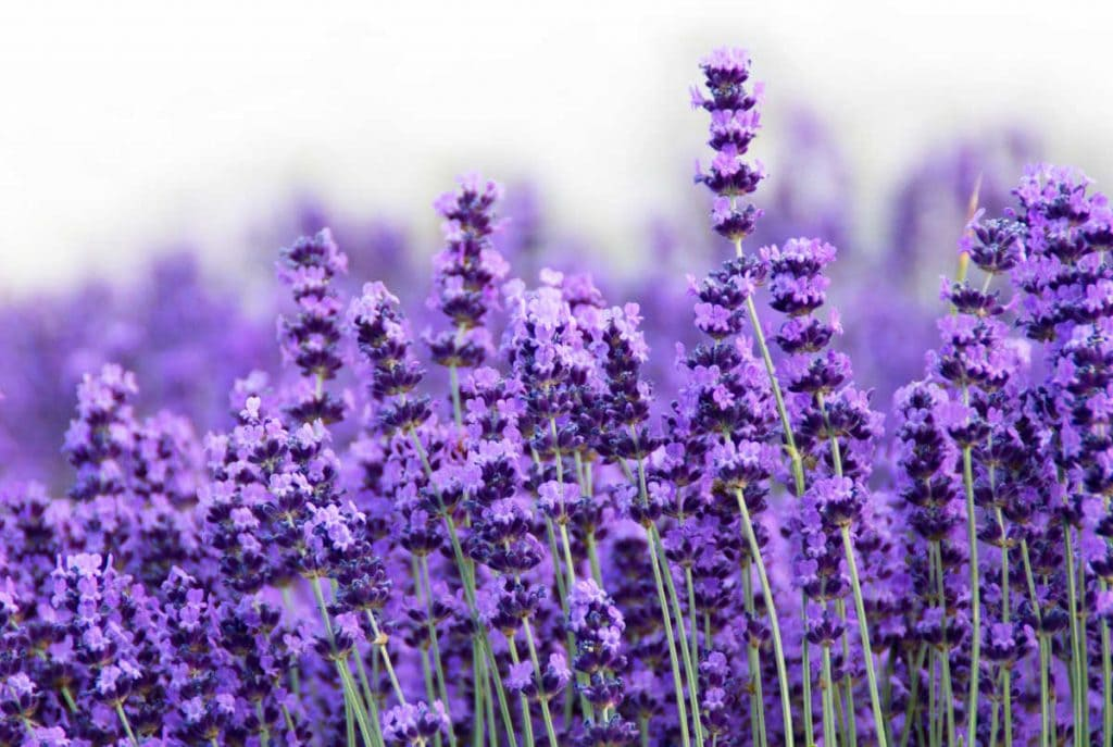 Lavender flowers in bloom.