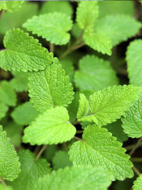 closeup of lemon balm leaves.