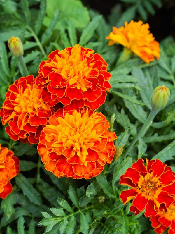 closeup of marigold flowers.