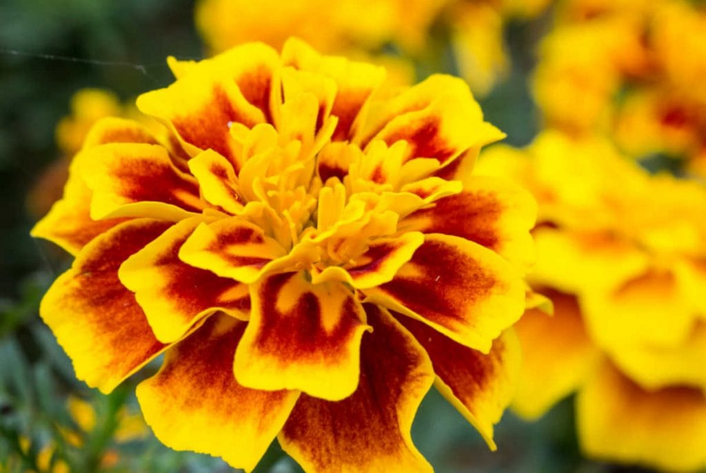 Closeup of a marigold flower with reddish coloration on yellow-orange flower petals.