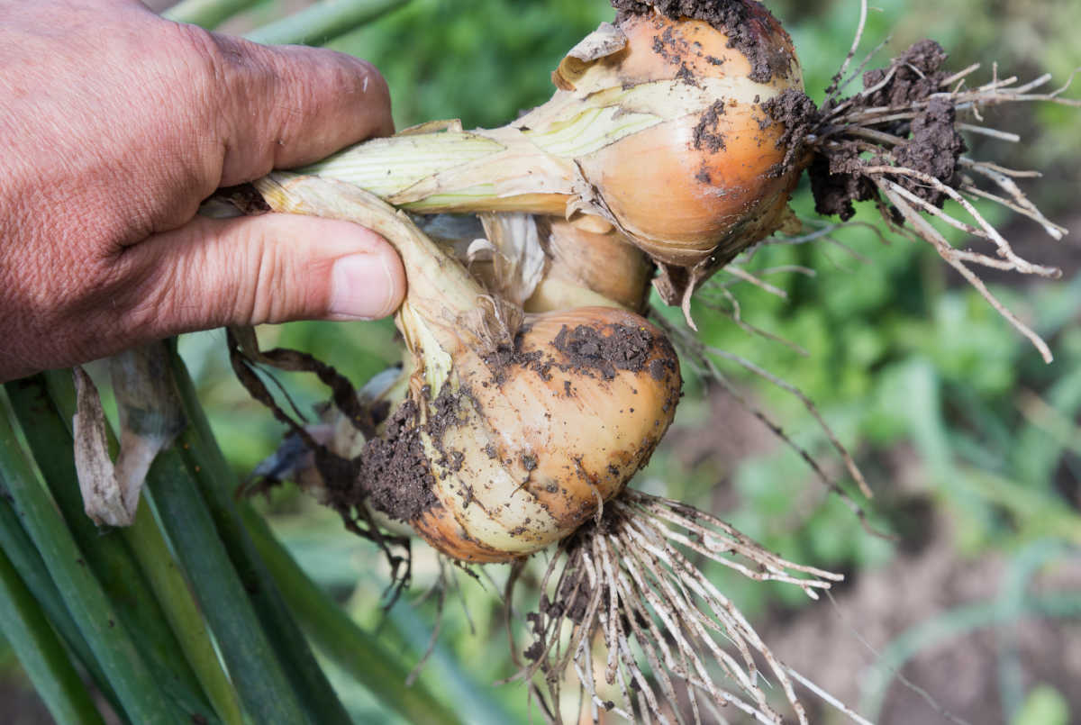 a hand holding two onions freshly dug.