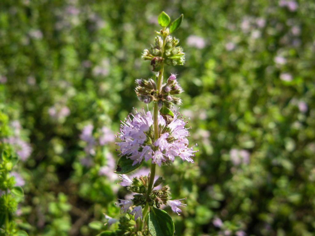 pennyroyal flower.