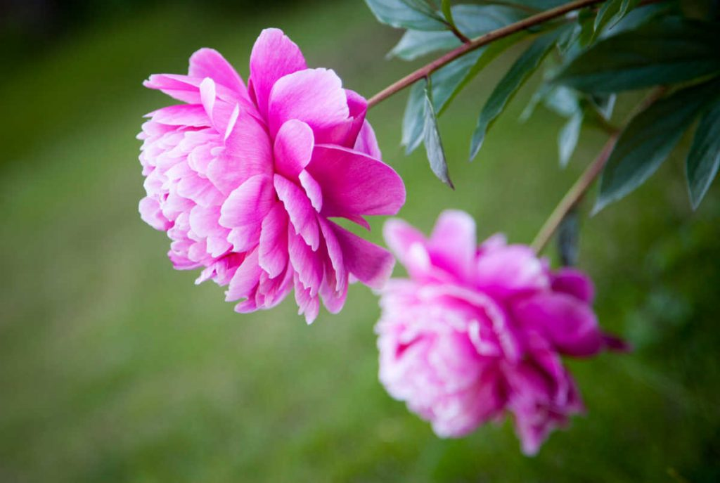 Two peony flowers in bloom.