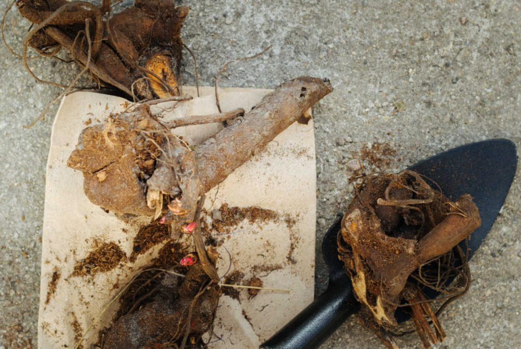Peony root divided with trowel.