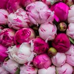 Closeup pic of a bunch of pink peony buds.